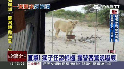 直擊!獅子狂舔帳棚 露營客驚魂嚇壞