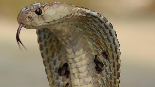 眼鏡蛇(圖/翻攝自維基百科)