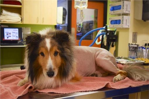 牧羊犬被壁蝨叮咬癱瘓(翻攝自DoveLewis Emergency Animal Hospital網站)