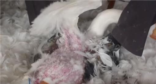 鵝、鴨、羽絨、活體拔毛(圖/翻攝自PETA YouTube)