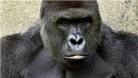 大猩猩(圖/翻攝自Cincinnati Zoo & Botanical Garden臉書)