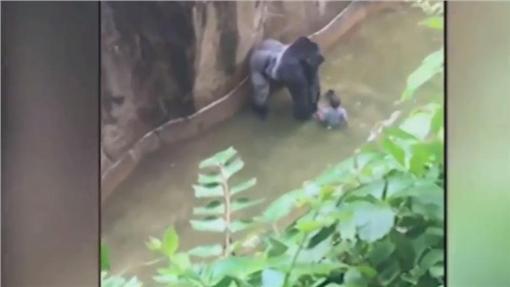 大猩猩(圖/翻攝自YouTube)