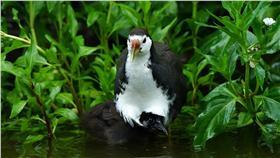 台北市立動物園,白腹秧雞,圖/台北市立動物園臉書