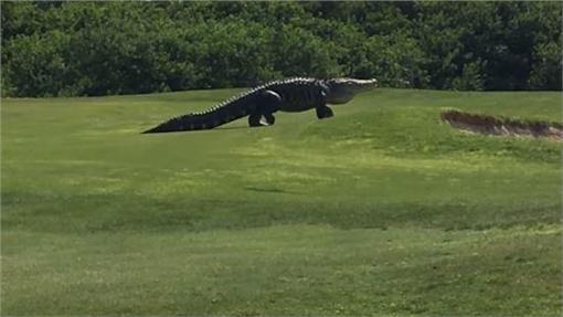 高爾夫球場出現大鱷魚 (圖/翻攝自Golf.com YouTube)