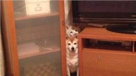 小狗、毛小孩、柴犬(圖/翻攝自C_Suzuki YouTube)