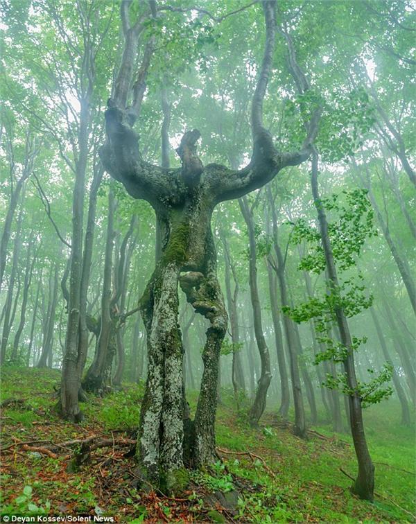 樹人,http://www.dailymail.co.uk/news/article-3619890/He-shrubs-nicely-Bizarre-tree-looks-just-like-real-person-spotted-Bulgaria.html