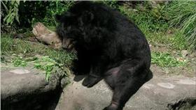 台灣黑熊,圖/翻攝自維基百科