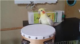 太陽鳥,鸚鵡,鈴鼓 圖/翻攝自いいちこインコの飼い主@漫画発売中Twitter