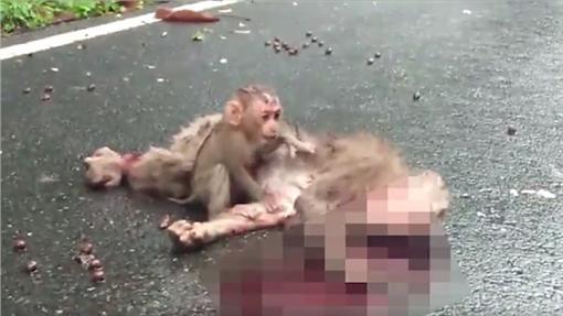 猴子被車撞死(ร่วมรณรงค์ปฏิบัติการ 4ม. ขอคืนพื้นที่เขาใหญ่ 臉書)