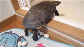 初音,烏龜,產卵/ナルパジン(@narupajin)/TWITTER