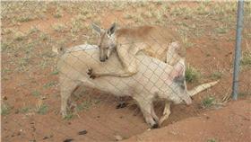 袋鼠 豬 http://news.163.com/photoview/00AO0001/2186777.html#p=BP984K8B00AO0001