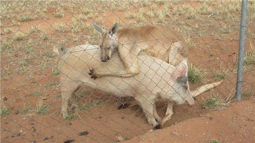 袋鼠豬http://news.163.com/photoview/00AO0001/2186777.html#p=BP984K8B00AO0001
