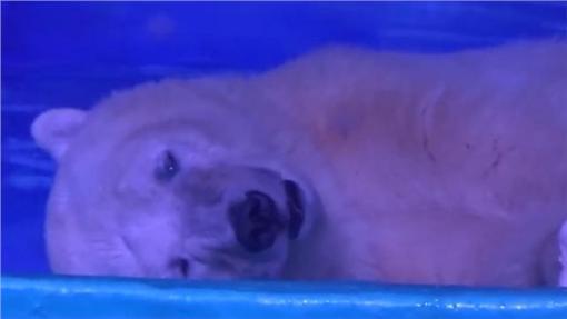 北極熊,https://www.facebook.com/849122588493300/videos/1103174919754731/