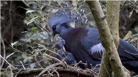 台北市立動物園13日表示,園內的維多利亞冠鴿「威廉」和「凱特」,今年生殖季辛苦產了3窩蛋,終於成功孵化出1隻小冠鴿,由於還不知道小冠鴿的性別,所以暫時還沒有取名字。(台北市立動物園提供)中央社記者顧荃傳真  105年6月13日