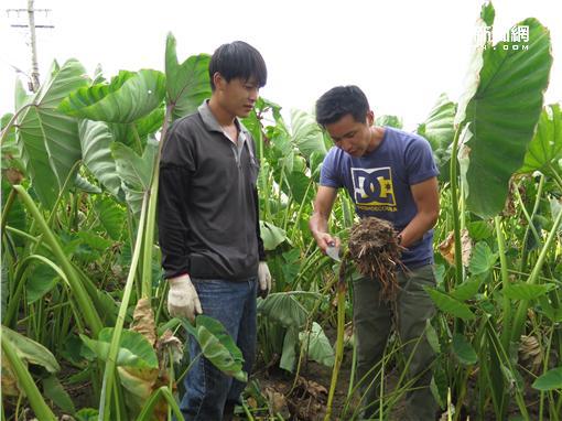在台灣的故事 芋頭田