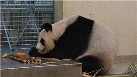 貓熊,圓圓,圓仔,可愛,毛孩,動物園,保育(圖/翻攝自臺北動物園保育網)