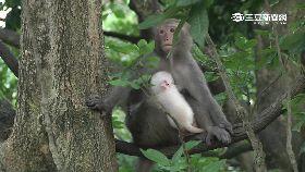 雲林小白猴1200
