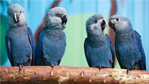 斯皮克斯金剛鸚鵡(Parrots, Parrots and more Parrots 臉書)