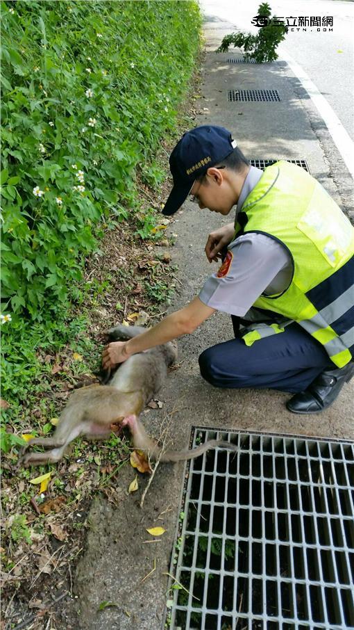 猴子,母猴,撞死,警方