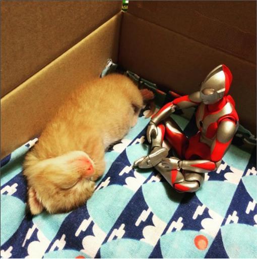 貓,鹹蛋超人 圖/翻攝自shlml推特https://twitter.com/shlml/media、komagram2015 instagram