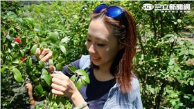 新竹雪霸休閒農場採藍莓。(圖/記者簡佑庭攝影)