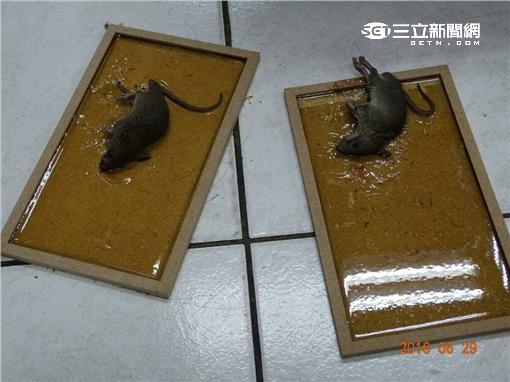 台北市刑大抓到3隻老鼠後即破案(翻攝畫面)