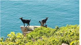 島嶼 羊 http://www.abc.net.au/news/2016-07-23/dingoes-set-to-become-pelorus-island-environmental-saviour/7652424