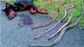 印度杜賓犬搏鬥眼鏡蛇(圖/翻攝自《Deccan Chronicle》)