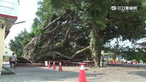 5樓高百年老榕樹 瞬間倒塌嚇壞民眾