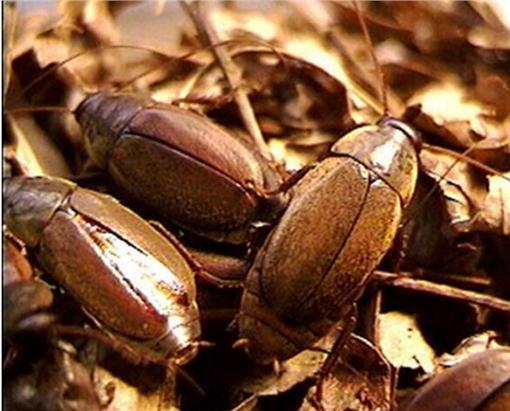 太平洋甲殼蟑螂(圖/翻攝自《Digital Journal》)