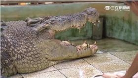 -麻豆鱷魚王-鱷魚-