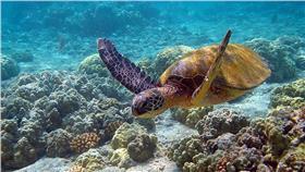 綠蠵龜Hawaii_turtle(攝影/Brocken Inaglory,C.C. License)https://sites.google.com/site/thebrockeninglory/