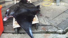 魟魚躺市場1800