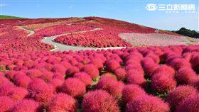 日本茨城常陸海濱公園掃帚草。(圖/茨城縣提供)