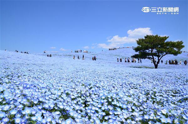 日本茨城常陸海濱公園粉蝶花。(圖/茨城縣提供)