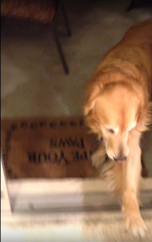 黃金獵犬不敢進玻璃門 圖/翻攝自YouTubehttps://www.youtube.com/watch?v=B-KhOAgPlQ4