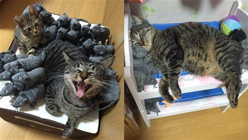 貓咪無視於主人的惡作劇。(圖/翻攝自the mimo Twitter)
