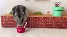 倉鼠瑪莉歐