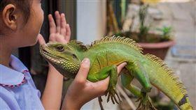 綠鬣蜥,外來種▲圖/攝影者Esin Üstün, flickr CC License https://www.flickr.com/photos/pamas/15665913078/