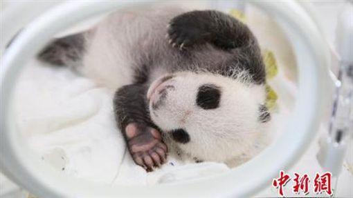 「中國貓熊保護研究中心上海基地」首隻雌貓熊寶寶「花生」(圖/中新網)