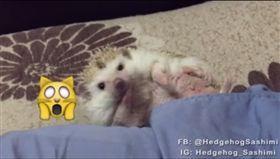 刺蝟,https://www.facebook.com/HedgehogSashimi/videos/1729668350633553/