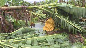 花蓮西瓜淹水香蕉玉米倒伏 農損約4百萬 颱風莫蘭蒂漸遠離,為花蓮帶來豐沛雨量,部分鄉鎮農 產傳出災情,農業處長羅文龍表示,初步統計約有30公 頃二期西瓜田淹水、香蕉、玉米等倒伏浸水,農產災損 約新台幣400多萬元。(圖/中央社)