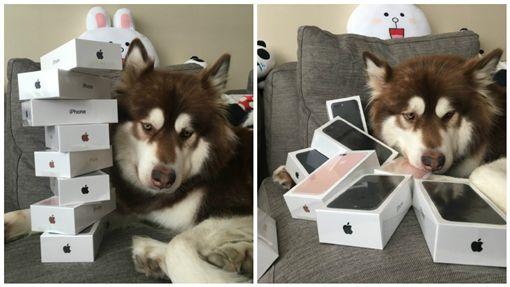 狗生贏家!王思聰炫富無極限 愛犬擁8支iPhone 7 圖翻設自微博
