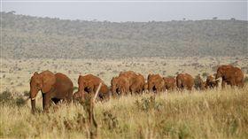 肯亞,野生動物,非洲,大草原,大象(圖/路透社/達志影像)
