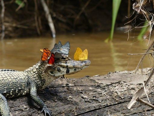 照片,生物,鱷魚,眼淚,熱帶雨林,蝴蝶,昆蟲,美國,大自然(https://www.facebook.com/theroyalsociety/photos/ms.c.eJxFjksOACEIQ280sVoQ73~_xMTRCwoK89IfpCBu0jRgxxwcBwz2C0SAVYAFZUBaPtCw8cP~;g5ilgnmB7KY4yGqhlskGGWu2gCbRCoeHdounrBw2RLCo~-.bps.a.1261850400514159.1073741860.148276958538181/1261850457180820/?type=3&theater)