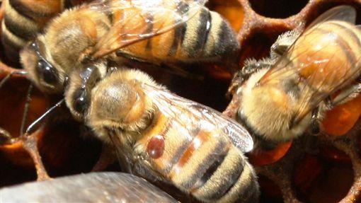 蜂蜜減產怎麼辦?加強蜂蟹蟎防範較實在!(圖/農委會)
