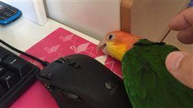 鸚鵡-推特-https://twitter.com/masubirds/media