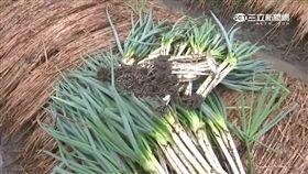 宜蘭、三星蔥、農民、農夫、農損、災害、種田