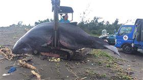 宜蘭蘇澳海邊29日發現1隻長約3公尺的侏儒抹香鯨擱淺,但已無生命徵象,送往台北市立動物園處理。(海巡署提供) 中央社記者沈如峰宜蘭縣傳真 105年9月29日 16:9