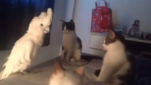 白毛鸚鵡模仿貓叫聲,逼真到連喵星人都聽呆。(圖/翻攝自DailyPicksandFlicksYouTube)